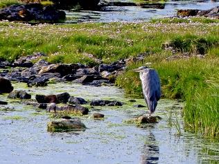 Heron on the lochan © Dave McFadzean